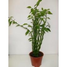 Бамбук саксия