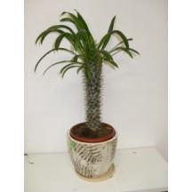 Пахиподиум (Мадагаскарска палма)